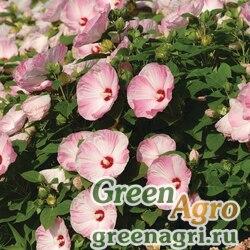 "Гибискус мускусный (Hibiscus moscheutos) ""Luna F1"" (pink swirl) raw 500 шт."