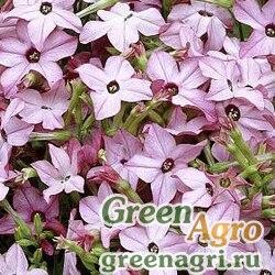"""Табак душистый (Nicotiana alata) """"Avalon f1"""" (bright pink) 100 шт."""