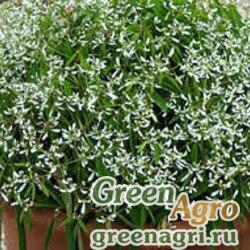 "Молочай злаковый (Euphorbia graminea) ""Glamour"" raw 1000 шт."
