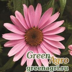 """Семена Эхинацея пурпурная (Echinacea purpurea) """"Prairie Splendor"""" (deep rose) raw 1000 шт."""