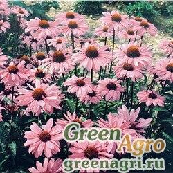 """Эхинацея пурпурная (Echinacea purpurea) """"Bravado"""" (deep rose) raw 1000 шт."""