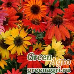 "Семена Эхинацея пурпурная (Echinacea purpurea) ""Cheyenne Spirit"" (mix) raw 1000 шт."