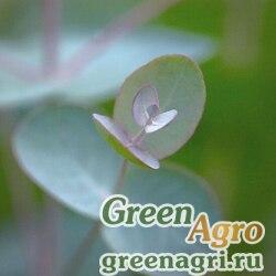 Эвкалипт Eucalyptus gunnii Silverdrop Silvery gray leaf Raw 1000