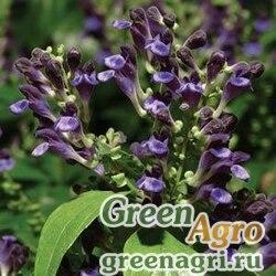 "Шлемник яванский (Scutellaria javanica) ""Veranda"" (blue) raw 500 шт."