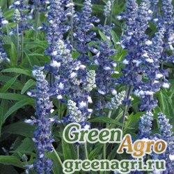 "Шалфей мучнистый (Salvia farinacea) ""Fairy Queen"" (blue) raw 1000 шт."