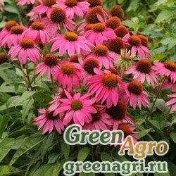 "Семена Эхинацея пурпурная (Echinacea purpurea) ""PowWow"" (wild berry) raw 1000 шт."