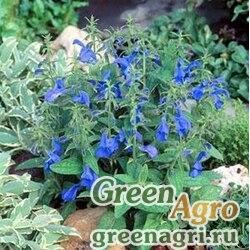 "Шалфей отклоненный (Salvia patens) ""Patio"" (deep blue) raw 1000 шт."