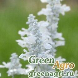 "Шалфей мучнистый (Salvia farinacea) ""Evolution"" (white) raw 1000 шт."