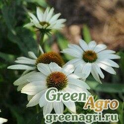 "Семена Эхинацея пурпурная (Echinacea purpurea) ""PowWow"" (white) raw 1000 шт."
