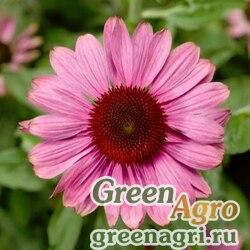 "Семена Эхинацея пурпурная (Echinacea purpurea) ""Prairie Splendor"" (rose compact) raw 1000 шт."