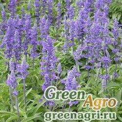 "Шалфей мучнистый (Salvia farinacea) ""Victoria"" (blue) raw 1000 шт."