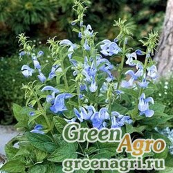 "Шалфей отклоненный (Salvia patens) ""Patio"" (sky blue) raw 1000 шт."
