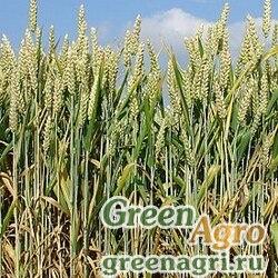 Пшеница 25 кг Зеленый уголок