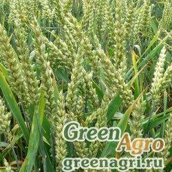 Рожь 0,8 кг Зеленый уголок