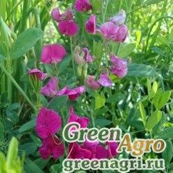 Горох Пелюшка 1 кг Зеленый уголок х10