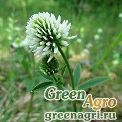 Клевер белый 1 кг Зеленый уголок (10шт)