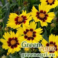 """Кореопсис крупноцветковый (Coreopsis grandiflora) """"SunKiss"""" (yellow) primed 1000 шт."""