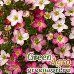 """Камнеломка Арендса (Saxifraga arendsii) """"Lofty"""" (pink shades) raw 1000 шт."""