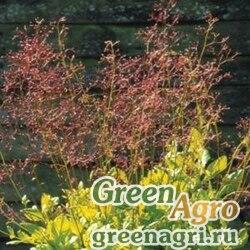 "Талинум метельчатый (Talinum paniculatum) ""Limon"" (lime-green foliage) raw 100 шт."