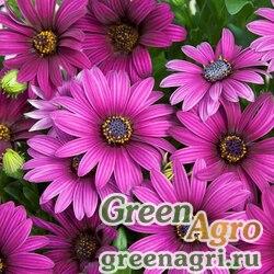 "Остеоспермум Эклона (Osteospermum eclonis) ""Asti F1"" (purple) raw 100 шт."