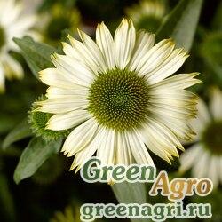 "Семена Эхинацея пурпурная (Echinacea purpurea) ""Prairie Splendor"" (white compact) raw 1000 шт."
