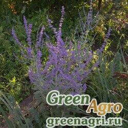 Перовския лебедолистная (Perovskia atriplicifolia) (blue steel) tuned 100 шт.