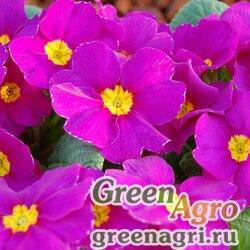 """Примула бесстебельная (Primula acaulis) """"Pioneer F1"""" (violet) raw 1000 шт."""