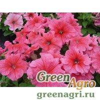 "Петуния крупноцветковая (Petunia grandiflora) ""Tango F1"" (rose veined) raw 1000 шт."