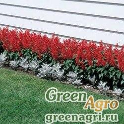 """Сальвия блестящая (Salvia splendens) """"Flare"""" (red) raw 1000 шт."""