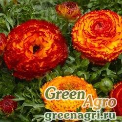 "Лютик азиатский (Ranunculus asiaticus) ""Mache F1"" (fire) pelleted 100 шт."