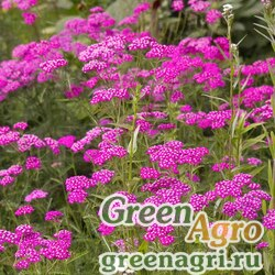 """Тысячелистник обыкновенный (Achillea millefolium) """"Cerise Queen"""" (Achillea millefolium) 15 гр."""