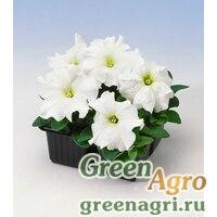 "Петуния крупноцветковая (Petunia grandiflora) ""Tango F1"" (white) raw 1000 шт."
