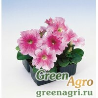 "Петуния крупноцветковая (Petunia grandiflora) ""Tango F1"" (red veined) raw 1000 шт."