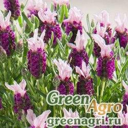 "Лаванда стэхадская (Lavandula stoechas) ""Castilliano"" (lilac) raw 1000 шт."