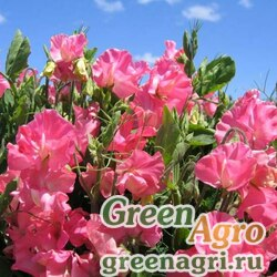 "Горошек душистый (Lathyrus odoratus) ""Villa Roma"" (pink) raw 1000 шт."