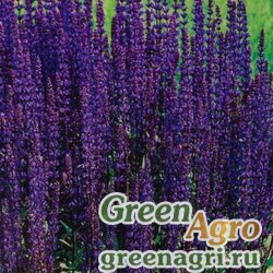 "Шалфей мучнистый (Salvia farinacea) ""Queen"" (dark violet) 1000 шт."