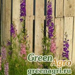 Дельфиниум аяксовый гиацинтоцветковый карликовый (Delphinium ajacis) (mix) 50 гр.