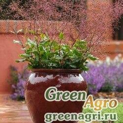 "Талинум метельчатый (Talinum paniculatum) ""Verde"" (green foliage) raw 100 шт."