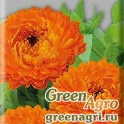 Календула низкорослая Фиеста оранжевая  (упак-50 гр.)