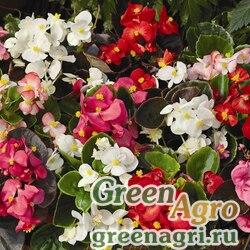 """Бегония вечноцветущая (зеленая и бронзовая листва) (Begonia semperflorens) """"Bada Total F1"""" (mix) pelleted 1000 шт."""