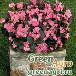 """Бегония вечноцветущая (бронзовая листва) (Begonia semperflorens) """"Nightlife F1"""" (deep rose) Pelleted 1000 шт."""