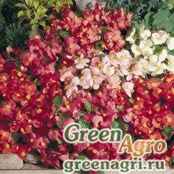"""Бегония вечноцветущая (зеленая листва) (Begonia semperflorens) """"Super Olympia F1"""" (mix) pelleted 1000 шт."""