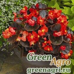 """Бегония вечноцветущая (бронзовая листва) (Begonia semperflorens) """"Eureka F1"""" (bronze scarlet) pelleted 1000 шт."""