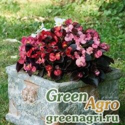 """Бегония вечноцветущая (бронзовая листва) (Begonia semperflorens) """"Nightlife F1"""" (mix) pelleted 1000 шт."""