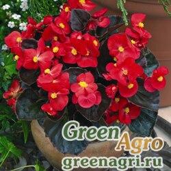 """Бегония вечноцветущая (бронзовая листва) (Begonia semperflorens) """"Bada Boom F1"""" (scarlet) pelleted 5000 шт."""