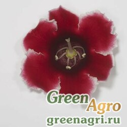"Глоксиния гибридная (Sinningia hybrida) ""Empress F1"" (red picotee) pelleted 1000 шт."