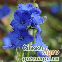 "Дельфиниум китайский (Delphinium chinensis) ""Diamonds"" (blue) raw 100 шт."
