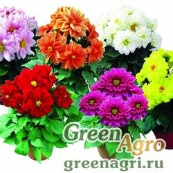 "Георгина гибридная (Dahlia variabilis) ""Othello"" (mix) 2 гр."