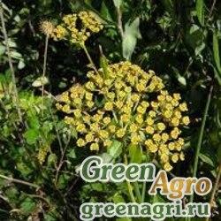 Володушка кустарниковая (Bupleurum fruticosum) 20 гр.