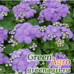 "Агератум мексиканский (Ageratum houstonianum) ""Aloha F1"" (blue) raw 100 шт."
